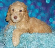 labradoodle puppies for sale in California labradoodle puppies in Southern California