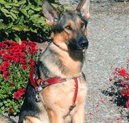 German Sheppard Seeing Guide Dog - sitting tall wearing a red harness.