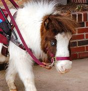 Magic - Miniature Therapy Mare has white and brown coat, blue eyes and wearing red harness