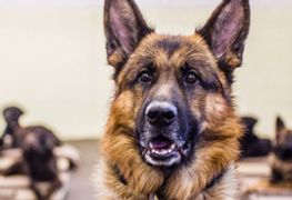 Atlas a purebred German Sheppard trained as Service Dog provides support to PTSD victims