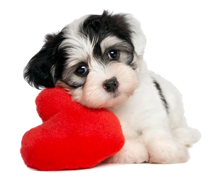 Innocent Heart Murmurs In Large Breed Puppies