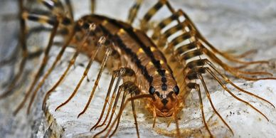 Centipedes and silverfish in your home or cottage.  Interior sprays for crawling insects