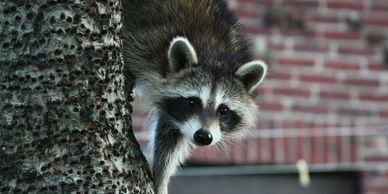 Wildlife removal, raccoons, squirrels. Live trapping available for your home, cottage or business