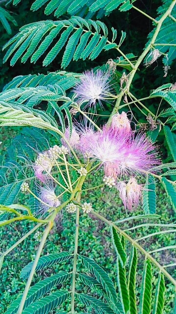 Mimosa Happy Heart Medicine