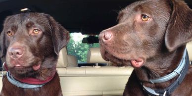 Home Dog boarding, pet sitting, dog sitting, home boarding, labradors, Hungerford, Berkshire