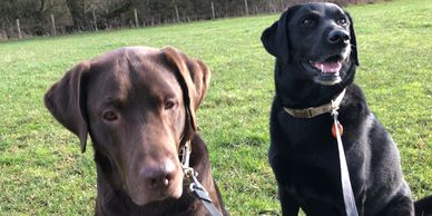 Home Dog boarding, pet sitting, dog sitting, home boarding, labradors, Goring on Thames, Berkshire