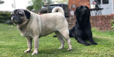 Home Dog boarding, pet sitting, dog sitting, home boarding, doggy day care, pug & labrador