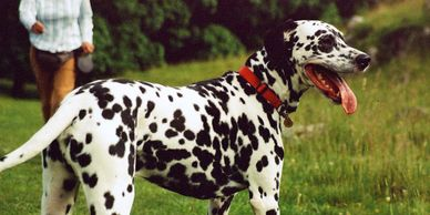 Home Dog boarding, pet sitting, dog sitting, home boarding, dalmatian, Alton, Hampshire