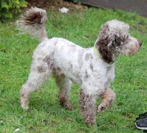 Oxo, a rare chocolate merle miniature poodle