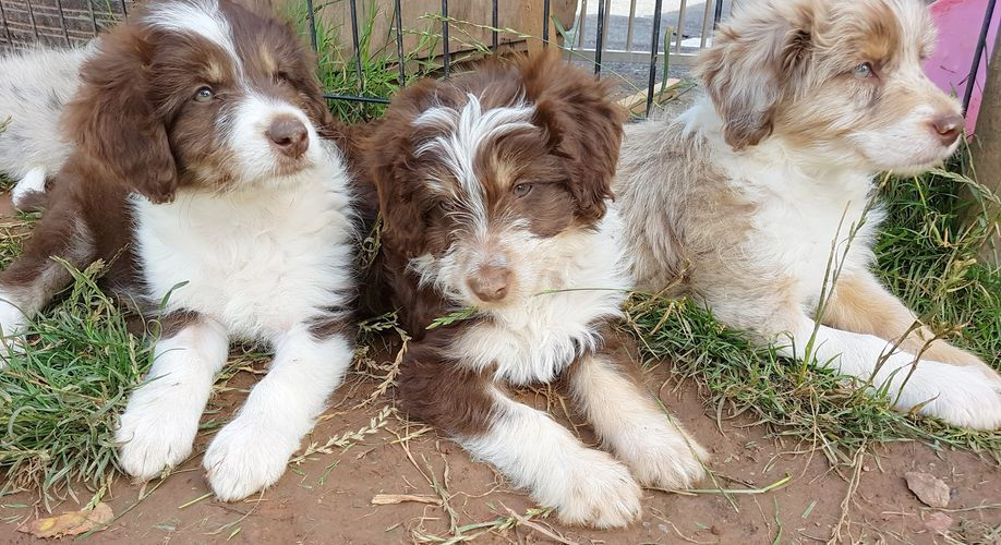 shining stars border colloodles quality border collie x poodle puppies