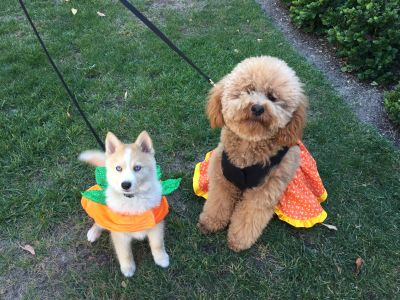 Pomksy puppy in pumpkin costume and GoldenDoodle in Halloween Dress.