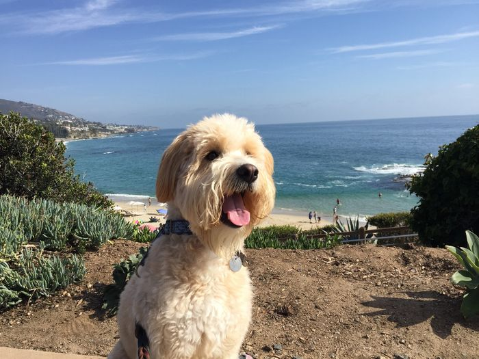 Dog Sitting - Doggie Daycare overlooking Laguna Beach