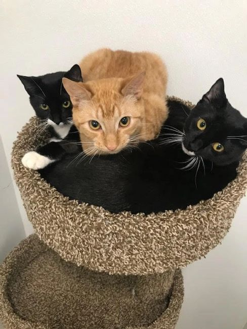 Two black and white cats with one golden cat available for adoption in Monroe, NY.
