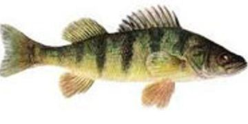 Perch Illustration