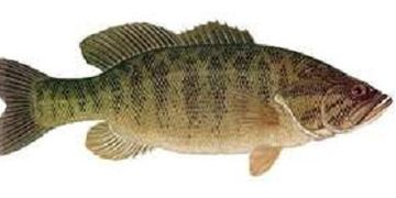 Smallmouth Bass Illustration