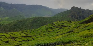 Cameron Highlands Tea Gardens English Visit Malaysia 2020 Hill station of Malaysia Most complete