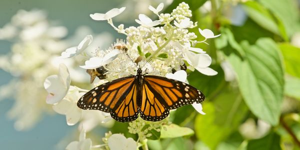 Monarch Butterfly on Pink diamond hydrangea, St Lous County, Mo