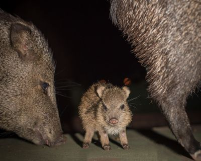 An adorable baby javelina on one of our Sedona Moonlight Hikes. Are you ready for a night hike?!