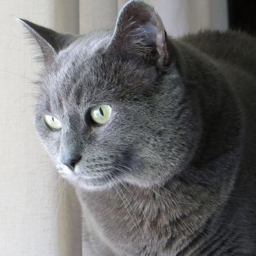 Grey Cat with Beautiful green eyes
