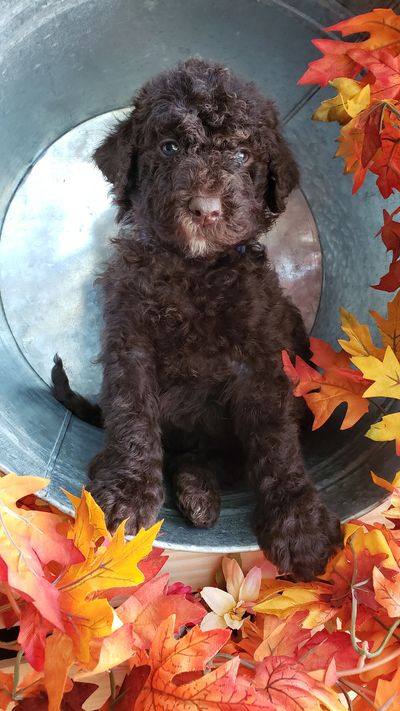 Labradoodle Breeders In Missouri Only Doodles