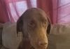 "AKC CHOCOLATE AMERICAN LABRADOR RETRIEVER- GOOSE DOWN KENNEL'S WHATTA PIP ""PIPPY"""