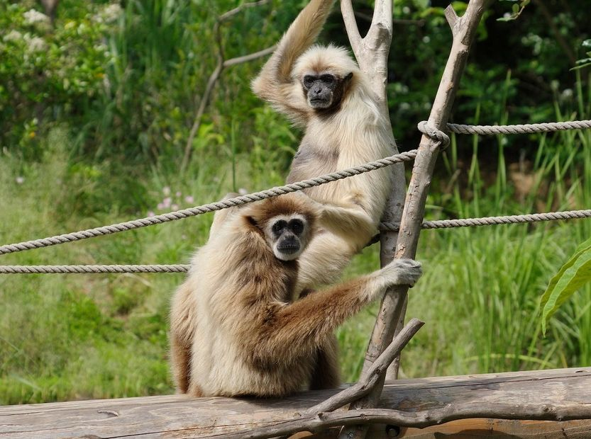White-handed gibbons (Hylobates lar) in the Tokiwa Zoo, Japan.