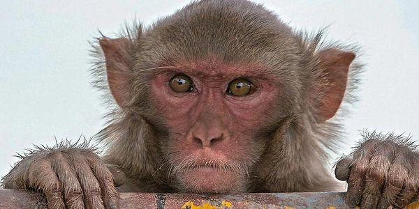 Rhesus macaque in India. Photo credit Planet Deadly