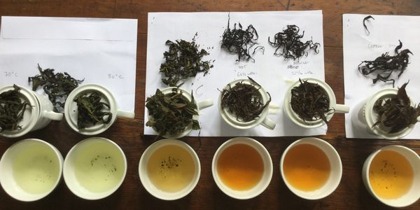 Tea Tasting with green and black teas in professional tasting cups.