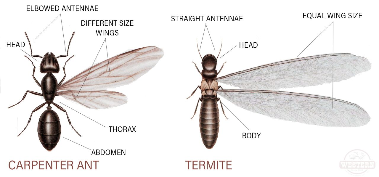 What Is The Difference Between Carpenter Ants Vs Termites