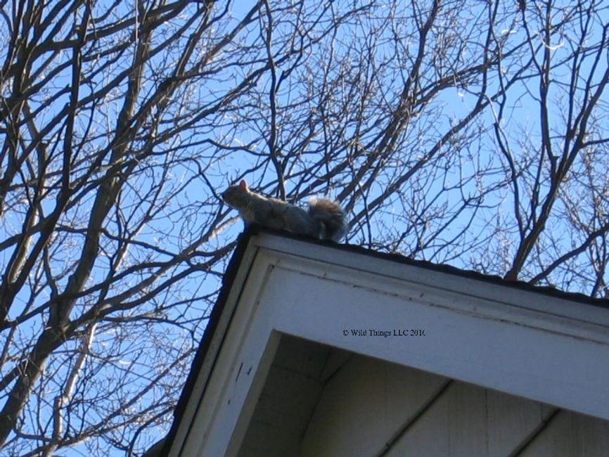 Wild Things LLC - Squirrel Removal, Squirrel Control | Wild