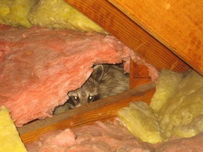 raccoon trapping raccoon in attic animal trapping animal control animal trapper squirrel control
