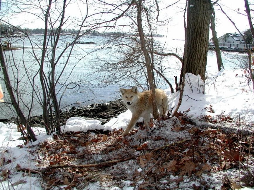 Coyote trapping coyote removal coyote shooting