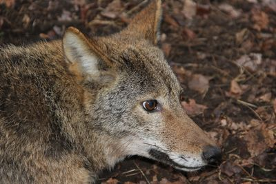 Coyote trapping coyote hunting coyote control coyote removal