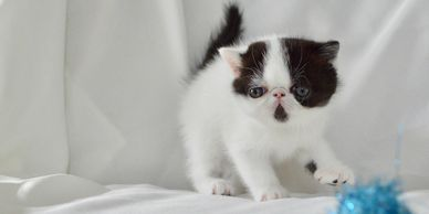 Mr. Whiskers Udon Exotic Shorthair - Homozygous  S. Jazzy Cats Van Go      D. Mr. Whiskers Emmy Lou
