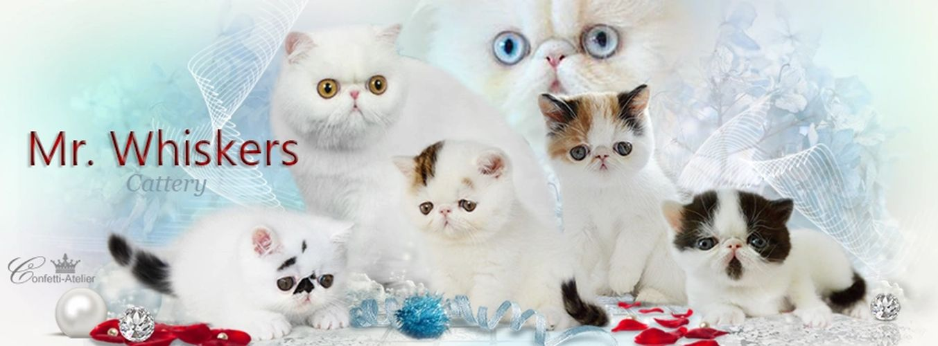 Mr. Whiskers Exotic Shorthair Persian Kittens for Sale in Salem, Oregon near California & Washington