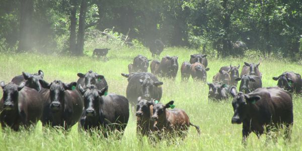 brangus cattle, replacement heifers, bulls for sale