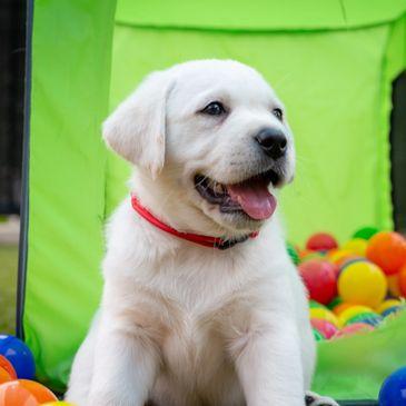 White English Labrador Puppies - Willshire White Labradors