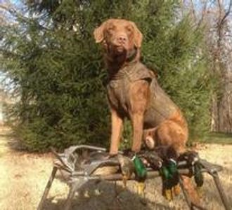 hunting dog, duck dog, bird dog, gun dog