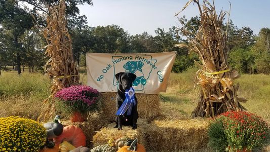 hunting dog, duck dog, bird dog, gun dog AKC hunt test, competition dogs