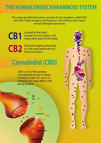 The Endocannabinoid System is affected by Hemp CBD