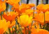 California Poppies-Reed James