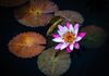 Water Lily-Cathy Cook