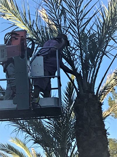 Our Certified Arborist inspecting  Date Palms at ASU