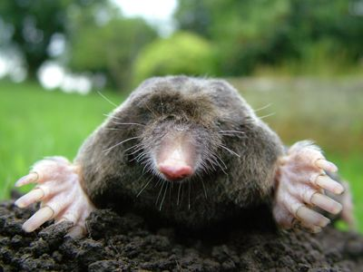 ground mole control and removal