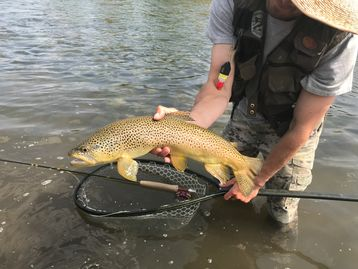 Brown trout fly fishing of Upper Green River, Wyoming