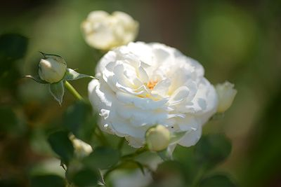 White roses historically are a message of love and hope. (Photo: ©White Wind Creations)