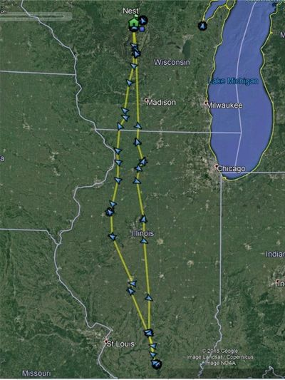 Winter 2018-2019 migratory route of Red-shouldered Hawk tracked by the Phantoms project.
