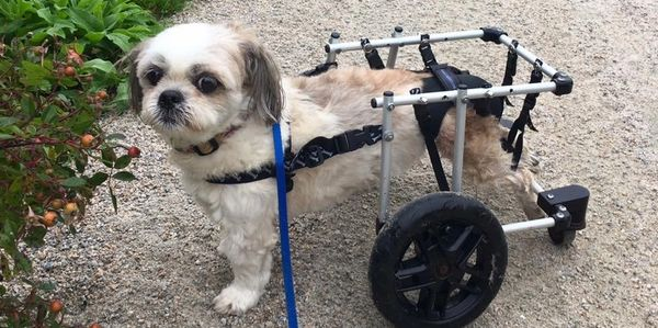 Dog using a wheel chair to go on a walk in Halifax