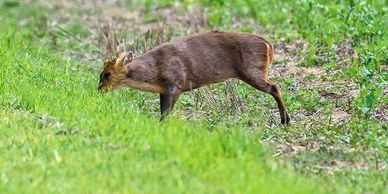 A muntjac deer eating grass in a field