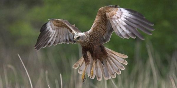 A close up view of a marsh harrier about to land with its wings spread out wide